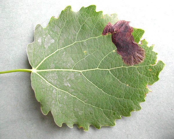black or brown blotches are formed on the leaf