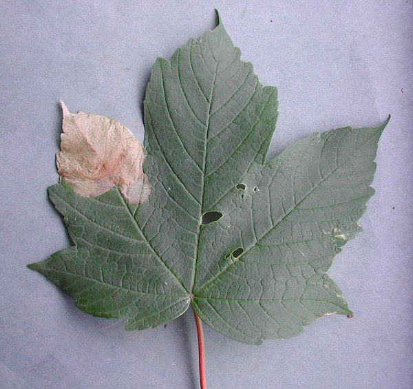 the mine is formed at the edge of the leaf and the disc has been excised