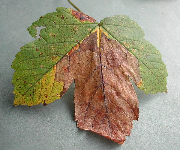 a blotch is formed from the leaf tip