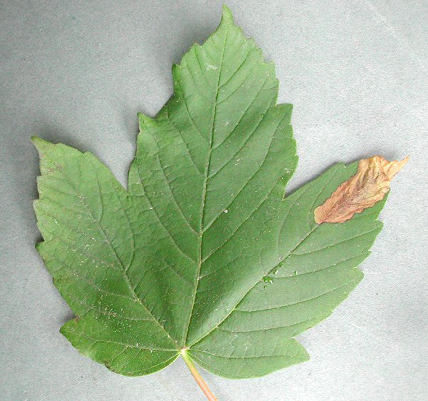 blotch mines are formed at the edge of the leaf