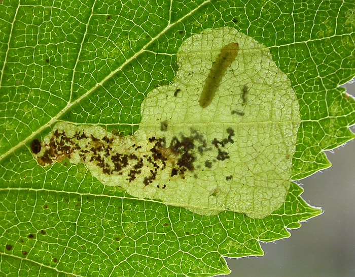 the blotch mine normally starts in the centre of the leaf
