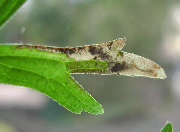 the larva has a pale brown head