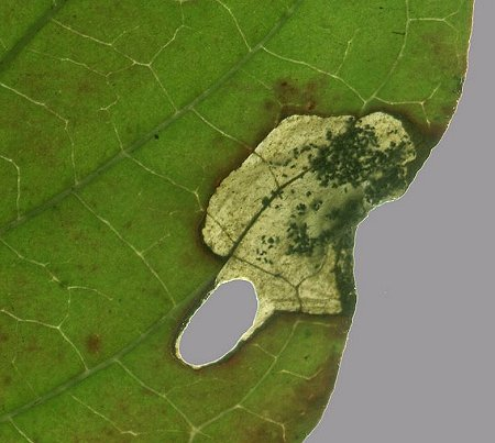 the larva has excised a case from the leaf leaving an oval hole