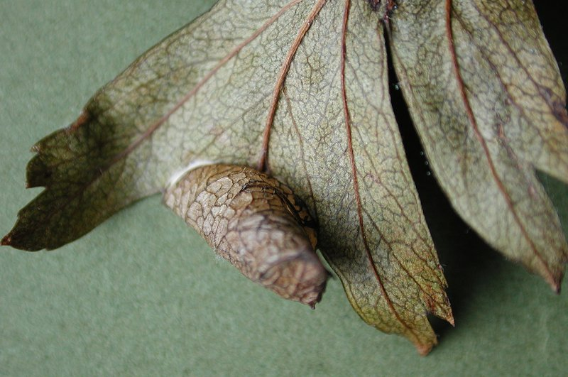 the leaf is folded to form cones