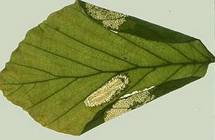 the initial mine is a 'Phyllonorycter' type
