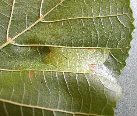 a small mine is formed on the underside of the leaf