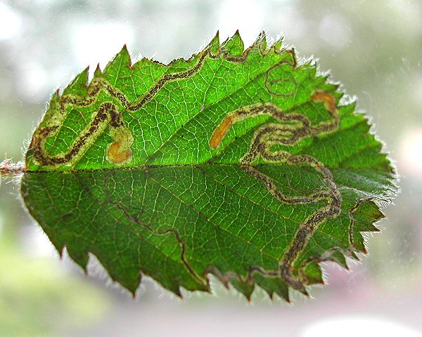 the larvae have yellowish bodies and yellow-brown heads
