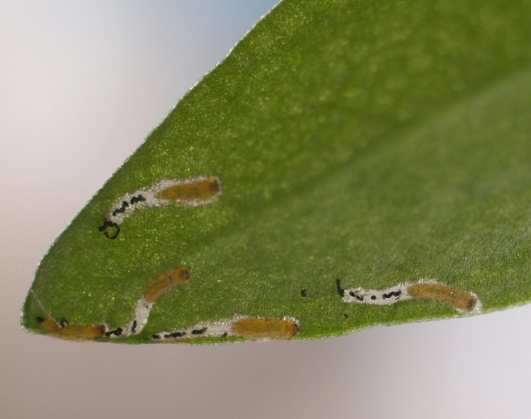 larvae in mines
