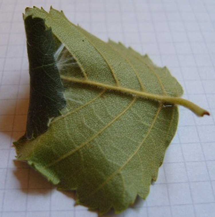 larva folds the leaf over longitudinally