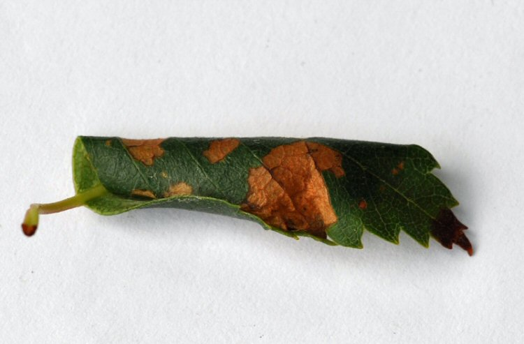 leaf rolled longitudinally
