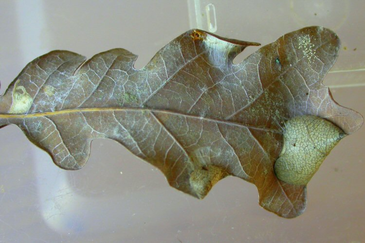 the larva feds beneath folds in the leaf edge